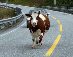 Шла корова по шоссе
