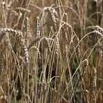 Красивее картины, чем созревшие колосья пшеницы, отыскать трудно.