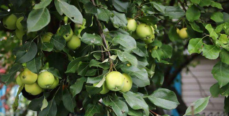 Слаборослые дают раннее «потомство», или Нюансы посадки карликовой яблони