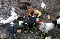 Устранили птичий двор