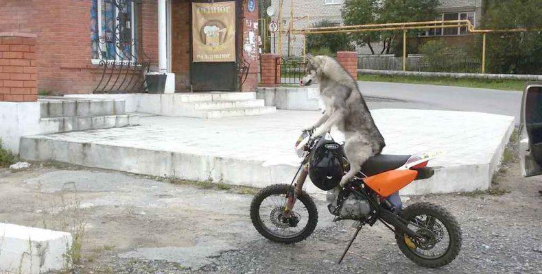 Собака-байкер,