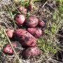 Нюансы выращивания «земляных яблок»