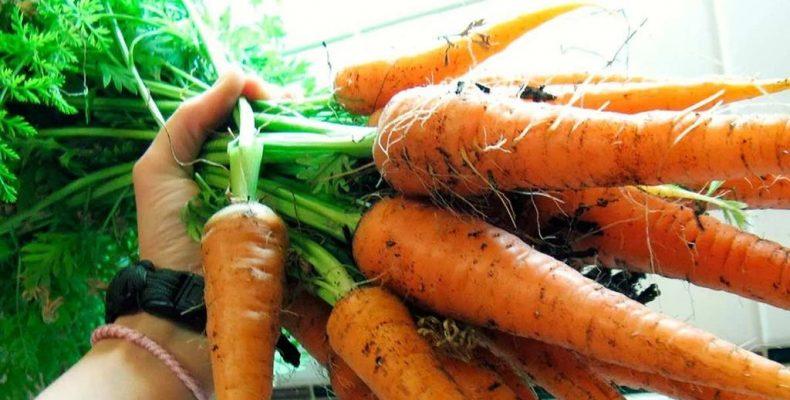 Морковь высеваю в январе