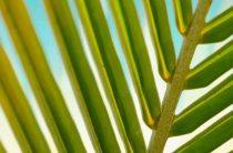 Солим пальму