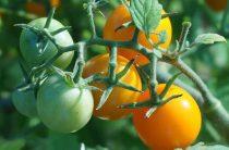 Поспешите собрать помидоры!