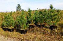 Плюс пятьсот деревьев