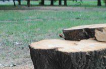Спилят 170 деревьев