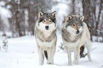Минус ещё два волка