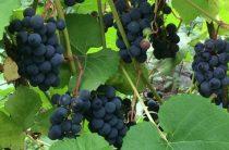 Виноград на Урале – это возможно
