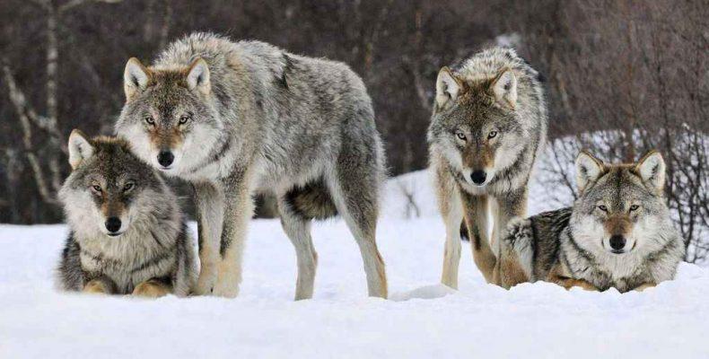 Внимание: волки!