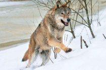 Не так страшен волк, как слух о нём